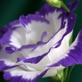 Eustoma Ink White-Blue