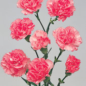 Carnations Spray