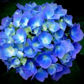 hydrangea/CO Shocking Blue