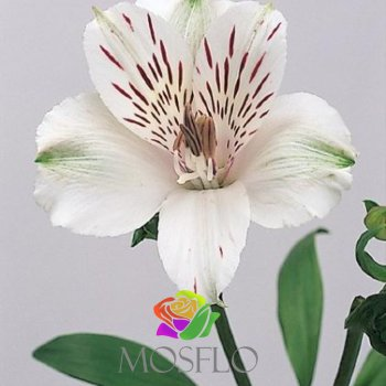 Alstroemeria Virginia