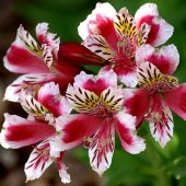 Alstroemeria Red Mix