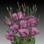 Eustoma Color