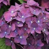 hydrangea/CO Purple