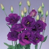 Eustoma Ink Purple