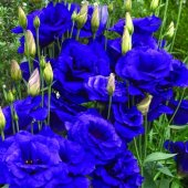Eustoma Ink Blue
