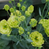 Eustoma Ink Green